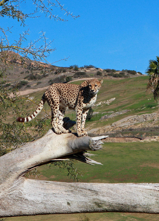South African Cheetah Stock Photography