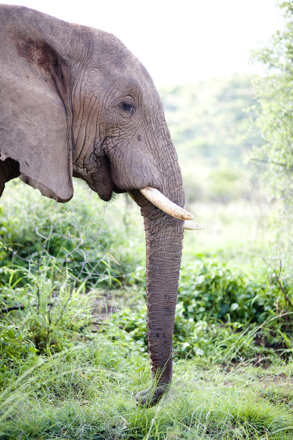 South African elephant royalty free stock photography