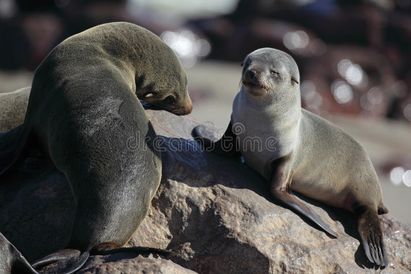 Download South African Fur Seal Pup And Adult Stock Image - Image: 13946037