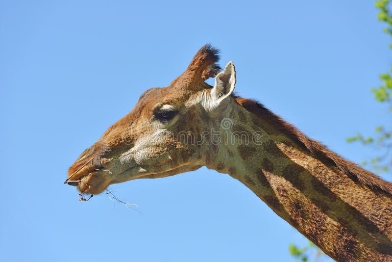 Giraffe Giraffa camelopardalis giraffa. Beautiful portrait against blue sky royalty free stock photography