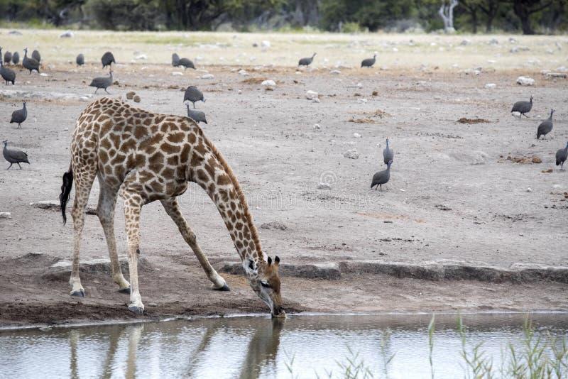 South African giraffe, Giraffa giraffa giraffa, drinking in waterhole, Etosha National Park, Namibia. The South African giraffe, Giraffa giraffa giraffa stock photos