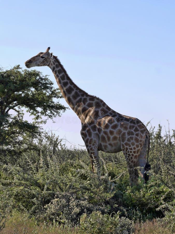 South African giraffe, Giraffa giraffa giraffa, Etosha National Park, Namibia stock photography