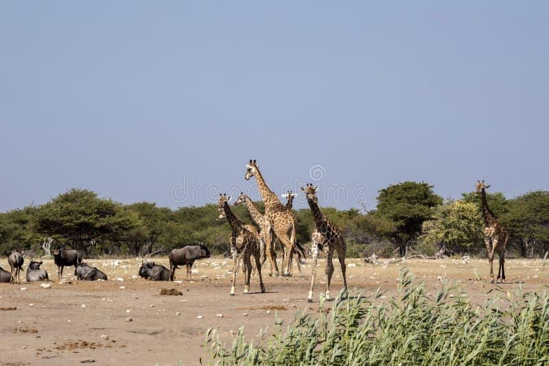 South African giraffe, Giraffa giraffa giraffa, Etosha National Park, Namibia. The South African giraffe, Giraffa giraffa giraffa, Etosha National Park, Namibia royalty free stock image