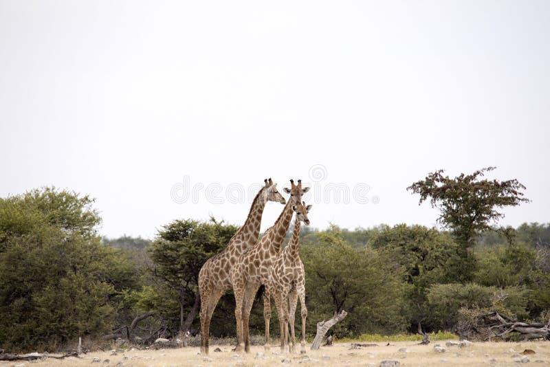 South African giraffe, Giraffa giraffa giraffa, Etosha National Park, Namibia. The South African giraffe, Giraffa giraffa giraffa, Etosha National Park, Namibia royalty free stock photo