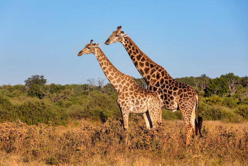 South African giraffe mating in Chobe, Botswana safari. South African giraffe in love preparing to mating, Chobe National Park, Botswana safari wildlife stock photo