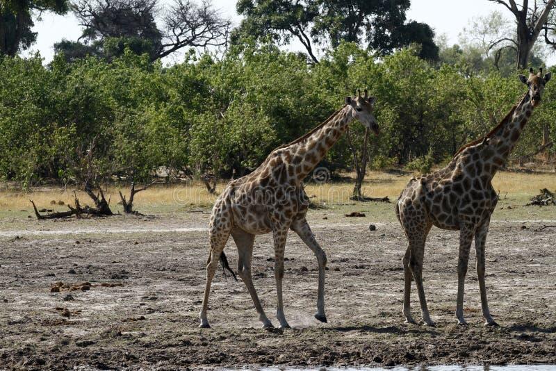South African Giraffes royalty free stock photos