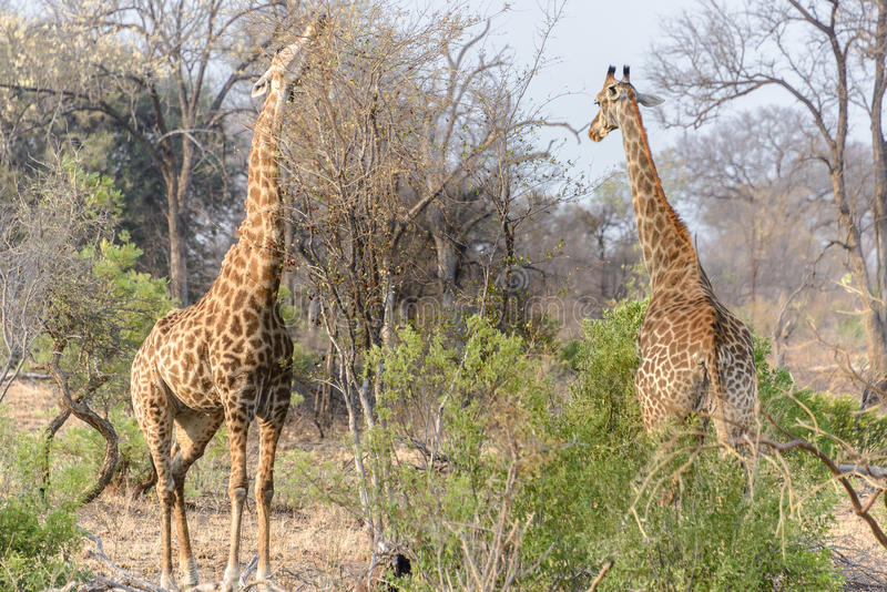 South African giraffes in Kruger National Park, South Africa royalty free stock image