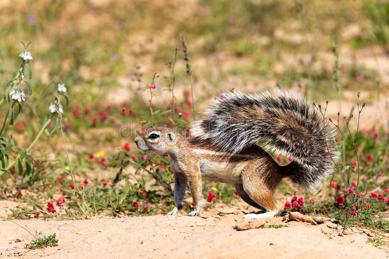 South African ground squirrel in flowering desert Kalahari. South African striped ground squirrel Xerus erythropus,with a raised tail in flowering desert royalty free stock images