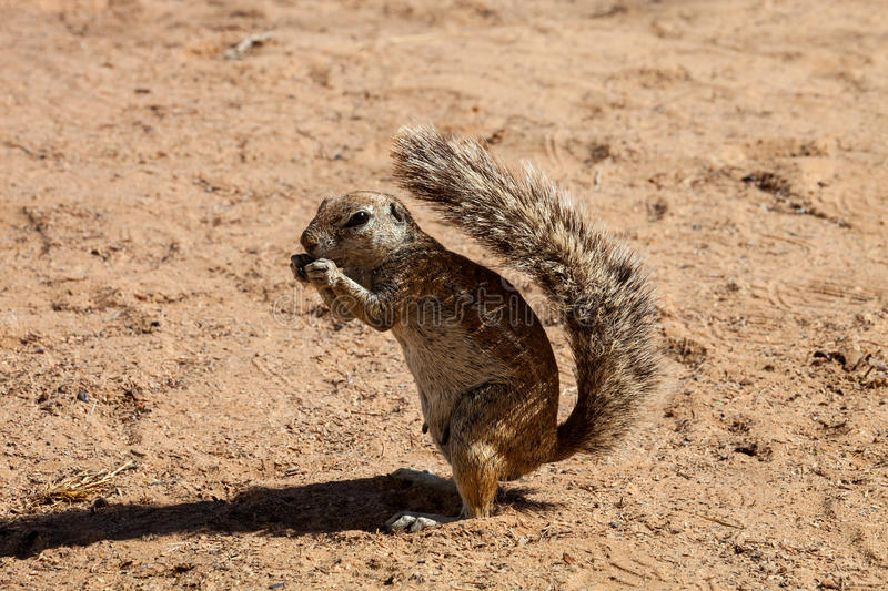 South African ground squirrel Xerus inauris, Kalahari, South Africa stock photography