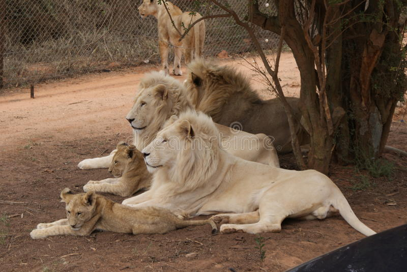 South African Lions. Male white lions with cubs, pride. Scientific name Panthera leo, cat carnivore royalty free stock photos
