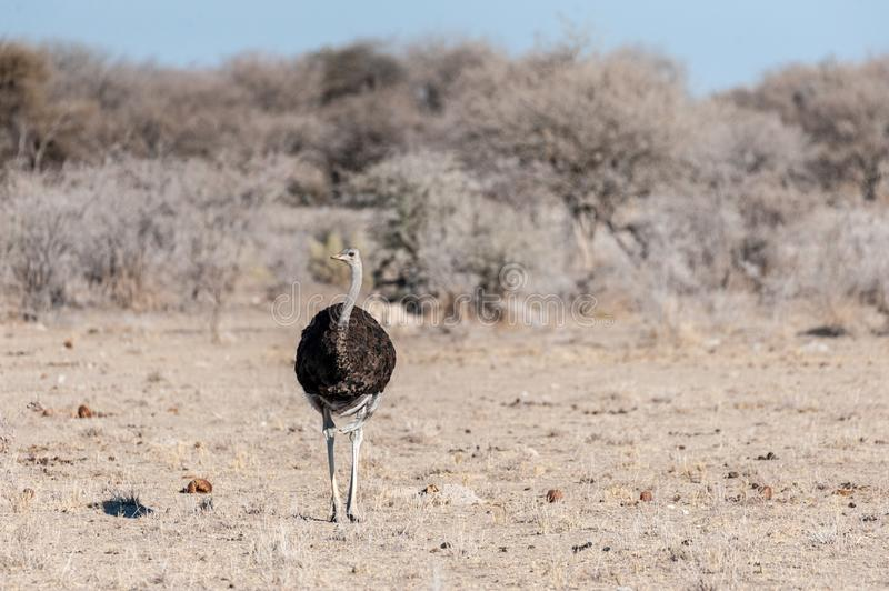 An Ostrich on the plains of Etosha. A South African Ostrich -Struthio camelus australis-, also known as the black necked Ostrich, Southern Ostrich, or Cape stock photography