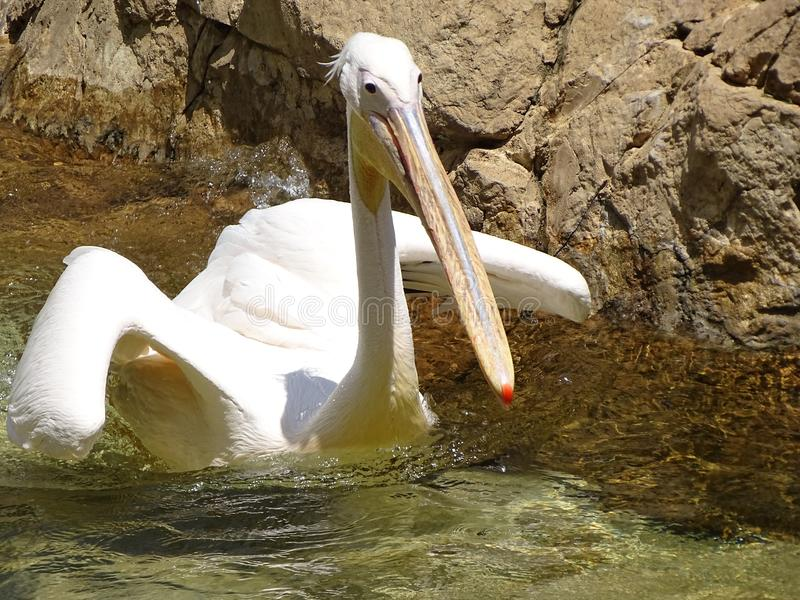 Pelican Afloat. South African pelican going for a swim at a bird sanctuary royalty free stock images