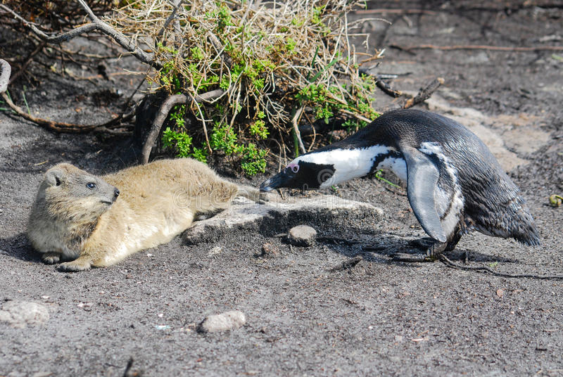 South African penguin confronting a dassie (rock hyrax). A South African penguin confronting a dassie (rock hyrax royalty free stock photo