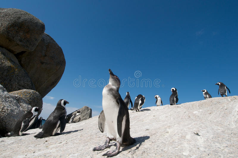 Download South African Penguins stock photo. Image of rock, simonstown - 12633174