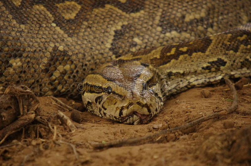 South african snakes stock image. Image of swallowing ...