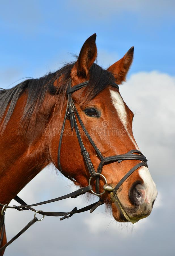 Horse portrait. Outdoor head portrait of a beautiful bay South African Thoroughbred horse with alert facial expression in front of blue sky background royalty free stock photos