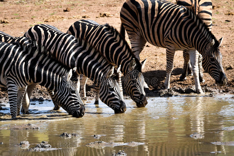 South African zebras drinking in waterhole. South African zebras from Pilanesberg nature reserve drinking in waterhole royalty free stock photos