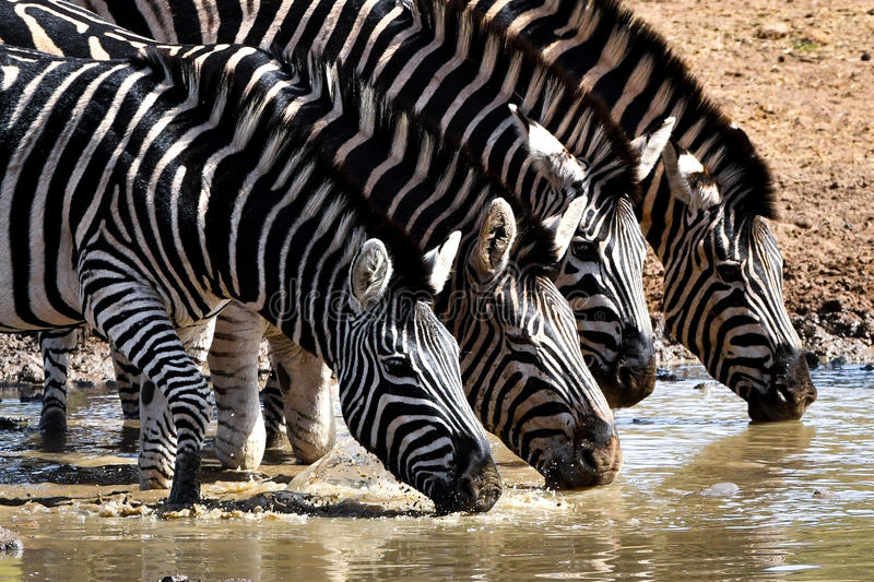 South African zebras drinking in waterhole. South African zebras from Pilanesberg nature reserve drinking in waterhole stock photography