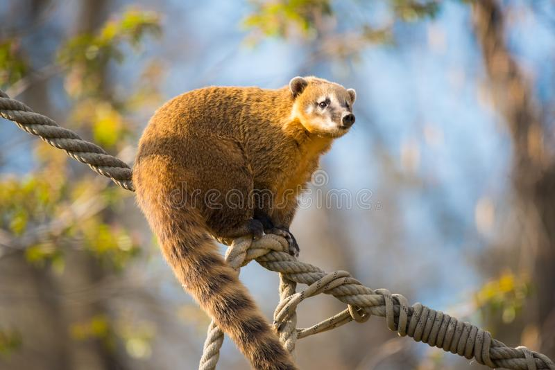 South American coati or nasua nasua. The South American coati or ring-tailed coati is a species of coati and a member of the raccoon family Procyonidae.  it is stock photo