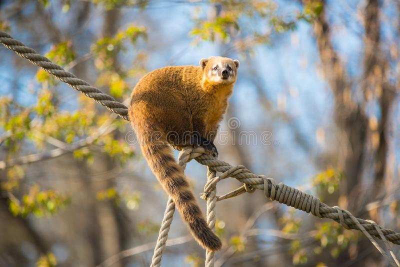 South American coati or nasua nasua. The South American coati or ring-tailed coati is a species of coati and a member of the raccoon family Procyonidae.  it is royalty free stock photography