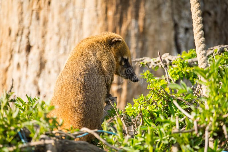 South American coati or nasua nasua. The South American coati or ring-tailed coati is a species of coati and a member of the raccoon family Procyonidae.  it is stock photography