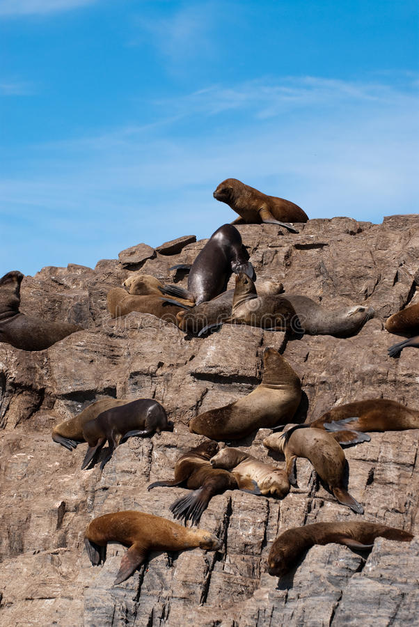 Download South American Fur Seal Colony In Ushuaia Royalty Free Stock Image - Image: 12092656