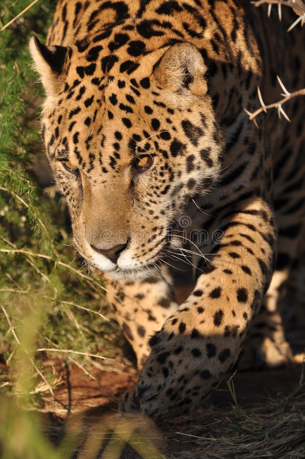 Download South American Jaguar Royalty Free Stock Photo - Image: 20441495