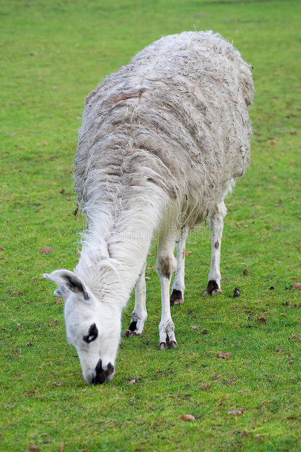 Download South American Lama In A Farm Stock Image - Image: 11837675