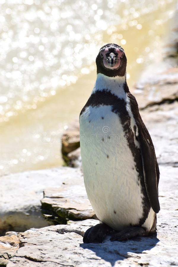 South American penguin portrait. A Humboldt penguin from South America standing on rocks by the ocean royalty free stock photography