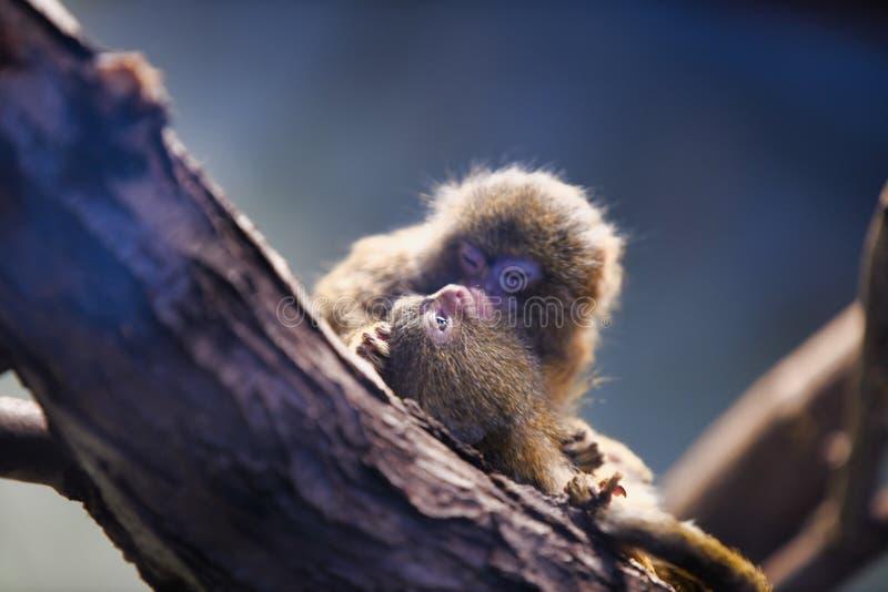 South American Pygmy marmoset Callithrix pygmaea, Cebuella pygmaea ape, apes royalty free stock photo