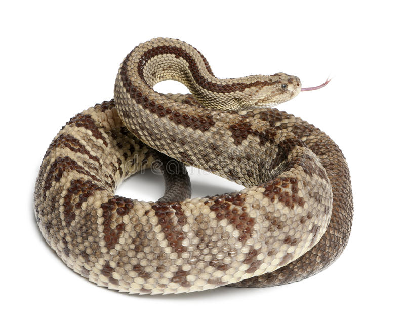 Download South American Rattlesnake - Crotalus Durissus Stock Image - Image: 23771123