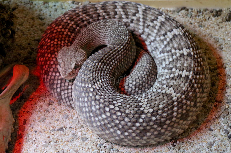 South American rattlesnake - Crotalus durissus, poisonous, white royalty free stock photography