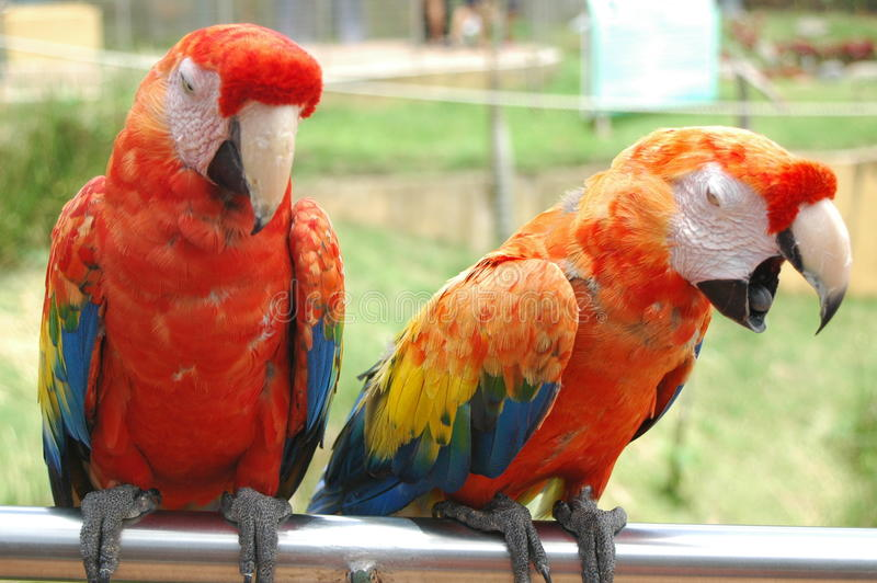 South American Scarlet Macaw Parrots stock photos