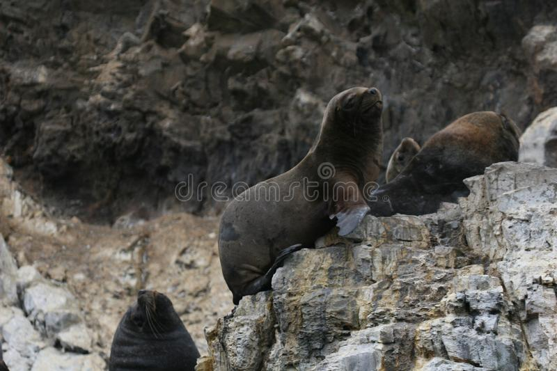 South american sea lions on rock stock photo