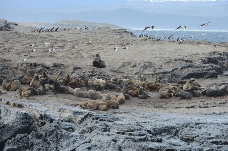 South American sea lion, Otaria flavescens, breeding colony and haulout on small islets just outside Ushuaia. BEAGLE CHANNEL, ARGENTINA - NOVEMBER 16,2014:South stock images