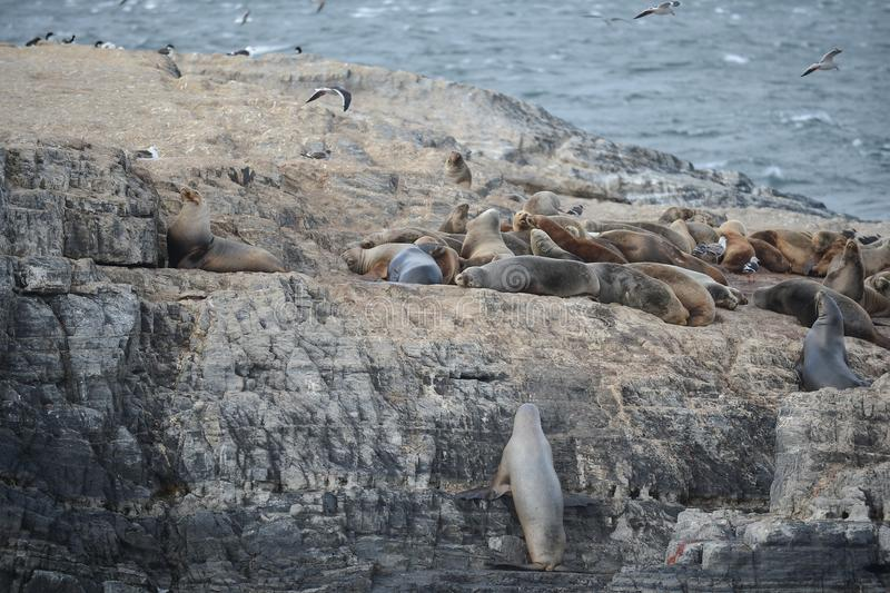 South American sea lion, Otaria flavescens, breeding colony and haulout on small islets just outside Ushuaia. BEAGLE CHANNEL, ARGENTINA - NOVEMBER 16,2014:South royalty free stock images