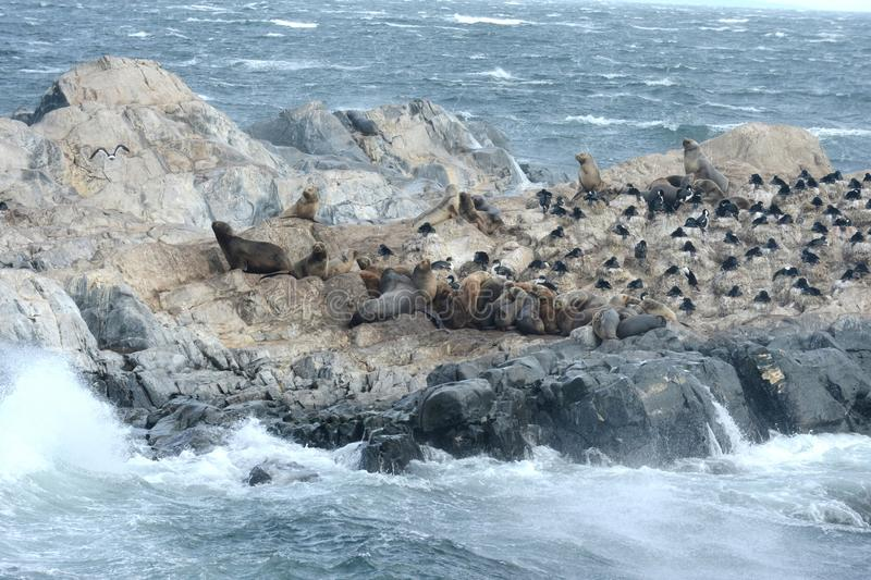 South American sea lion, Otaria flavescens, breeding colony and haulout on small islets just outside Ushuaia. BEAGLE CHANNEL, ARGENTINA - NOVEMBER 16,2014:South stock photography