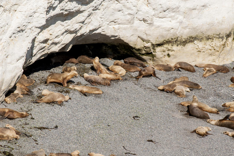 Download South American Sea Lions Lazy In The Sun Stock Photo - Image of large, otaria: 74132302