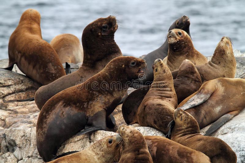 South American sea lions, Tierra del Fuego royalty free stock images