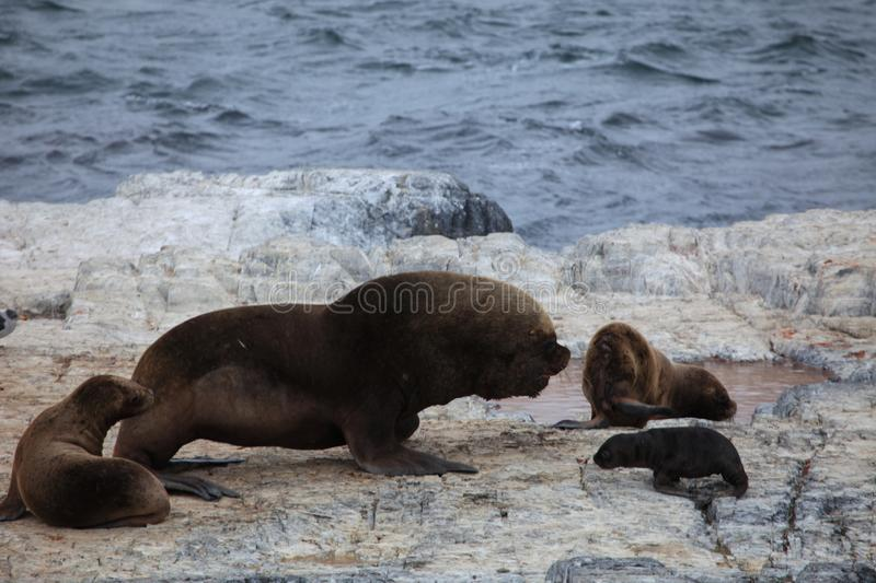 South American sea lions of Tierra del Fuego stock images