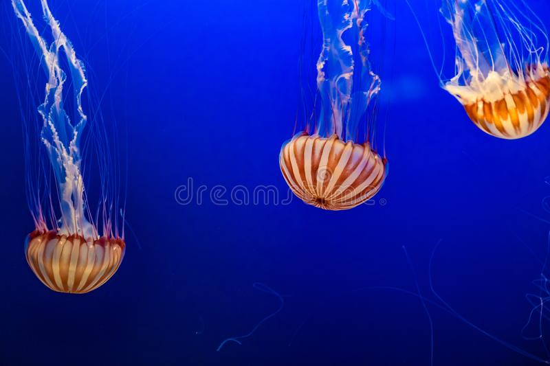 West African Sea Nettles in Omaha Henry Doorly Zoo stock photo