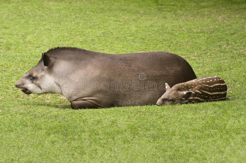 Download South American Tapir stock photo. Image of mouth, hair - 10464440