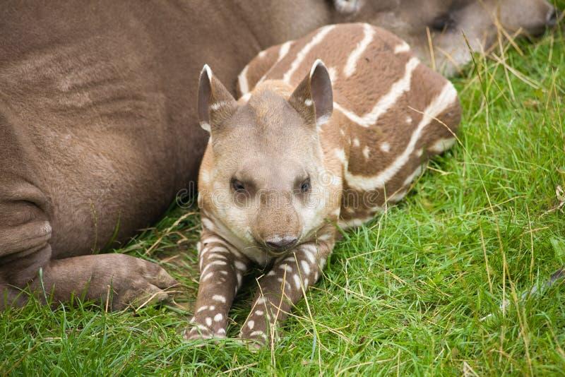 Download South American Tapir stock image. Image of anta, side - 15561781