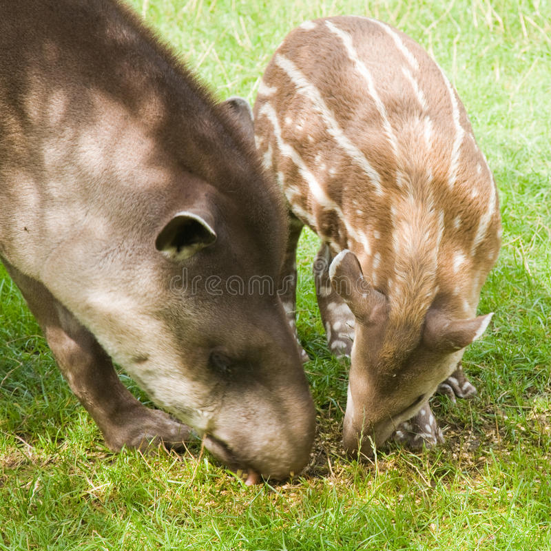 Download South American Tapir stock photo. Image of cute, program - 15561846