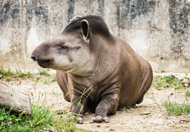 South American tapir - Tapirus terrestris – animal portrait. South American tapir - Tapirus terrestris - also know as Brazilian tapir and Lowland tapir royalty free stock photography