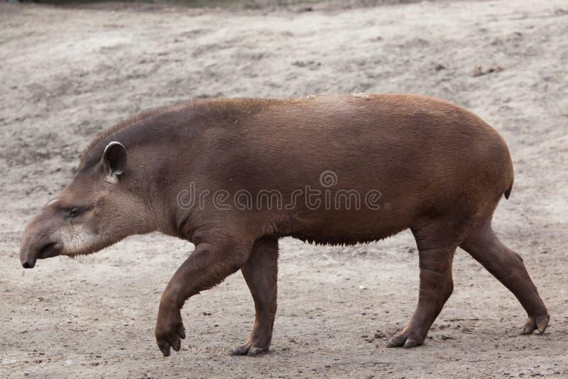 South American tapir (Tapirus terrestris). Also known as the Brazilian tapir. Wild life animal royalty free stock photo