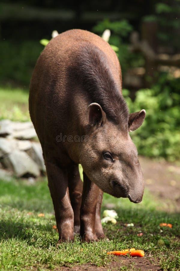 South American tapir (Tapirus terrestris). South American tapir (Tapirus terrestris), also known as the Brazilian tapir. Wildlife animal royalty free stock photo