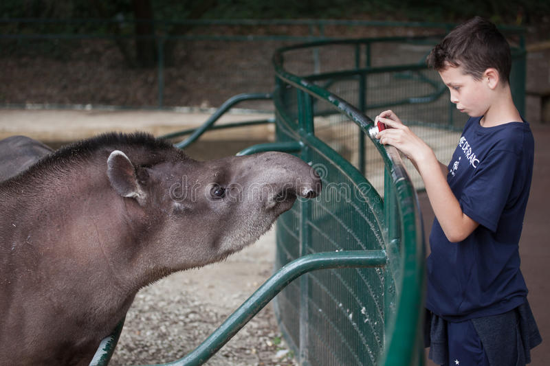 South American tapir Tapirus terrestris. LES MATHES, FRANCE - JULY 4, 2016: Young visitor takes photos of the South American tapir Tapirus terrestris, also known royalty free stock images