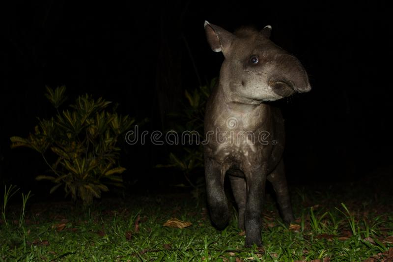 South American tapir Tapirus terrestris in natural habitat during night, cute baby animal with stripes, portrait of rare animal stock photo