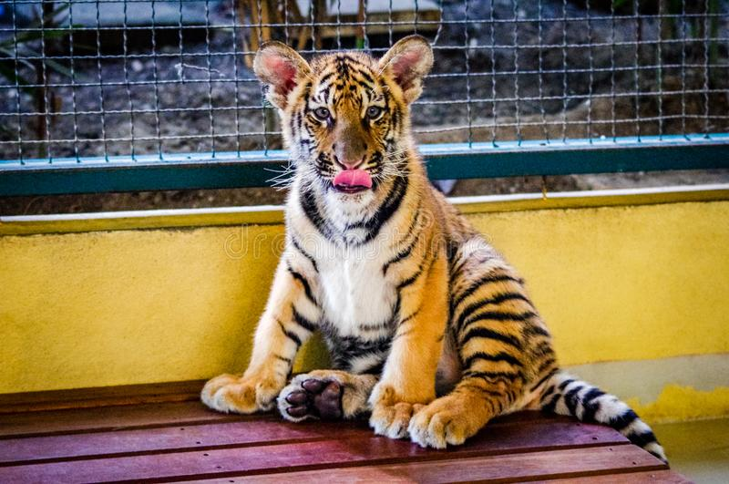 South East Asia Tiger Close Up royalty free stock photography